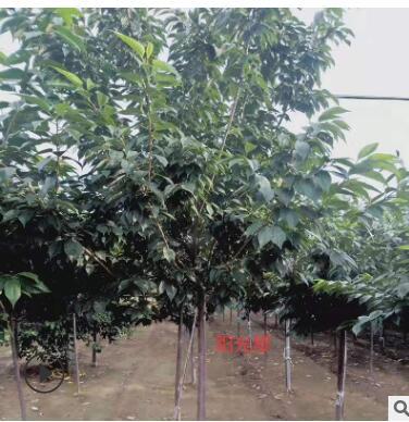 现货供应高干樱花 规格多样 绿化工程庭院种植 适应能力强