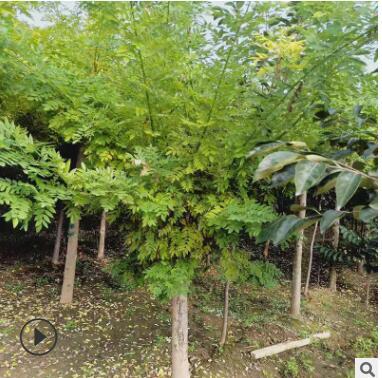 现货供应金枝槐 园林金枝槐树品种多样 树形美观量大优惠