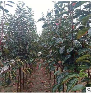 苗圃直销,专供批发柿树