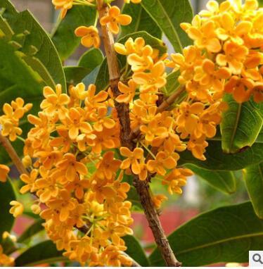 盆栽桂花树 四季黄金桂花纯种日香桂花树庭院