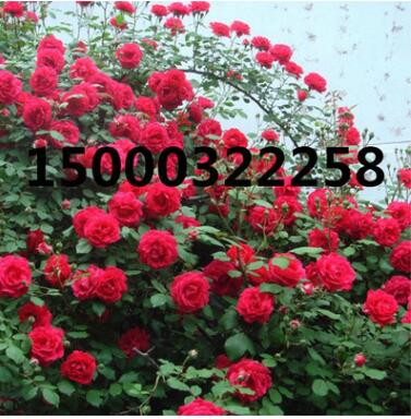 欧月红龙红色龙沙宝石月季多季藤本爬藤红龙沙月季花推荐玫瑰蔷薇