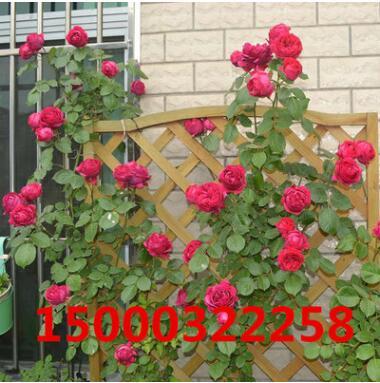 蔷薇花藤本月季爬藤植物庭院阳台盆栽玫瑰爬墙花卉修剪发货