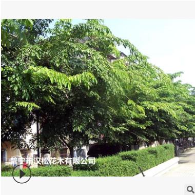低价供应绿化苗木印度紫檀花木农户自家花场直销宠物及园艺园林