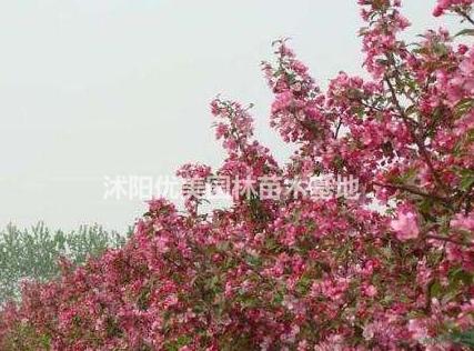沭阳优美园林/北美海棠