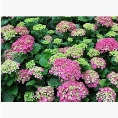 八仙花 土球好 冠幅好 花灌木 地被 球类 色块类 草花类 乔木苗圃