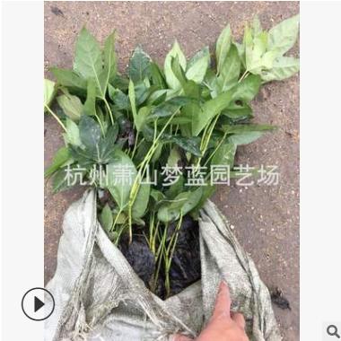 基地直销 优质 八角金盘 绿化 灌木 货源 充足 成活率高 萧山苗圃