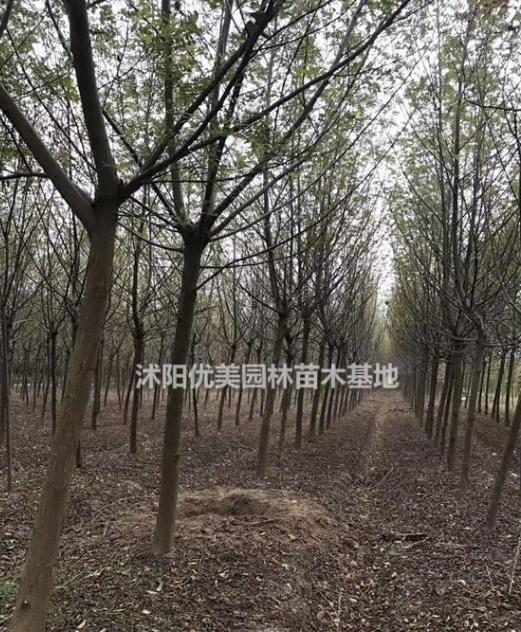 江苏沭阳大量枫杨 有货源