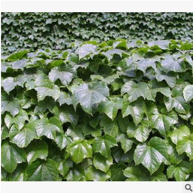 爬山虎 优质 精品苗 成活率高 萧山 藤本 植物 批发 基地 规格全