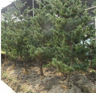 五针松 土球好 冠幅好 花灌木 地被 球类 色块类 草花类 乔木萧山