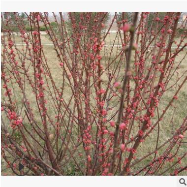 铁杆海棠 土球好 冠幅好 花灌木 地被 球类 色块类 草花类 乔木