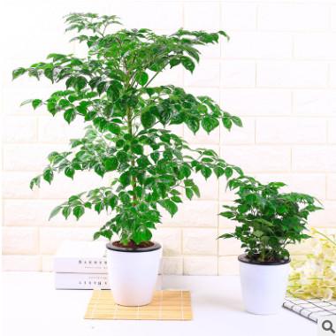幸福树小富贵绿植小盆栽水培花卉植物办公室内盆景吸甲醛防辐射