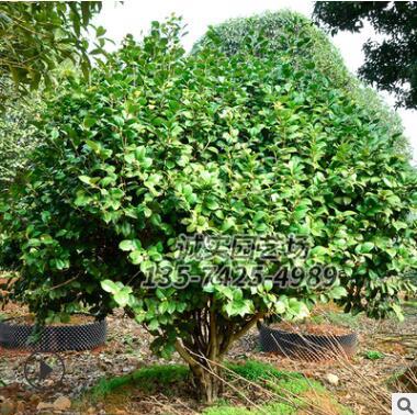 园林绿化观赏植物山茶花树 基地直销 优价供应各规格山茶花树苗