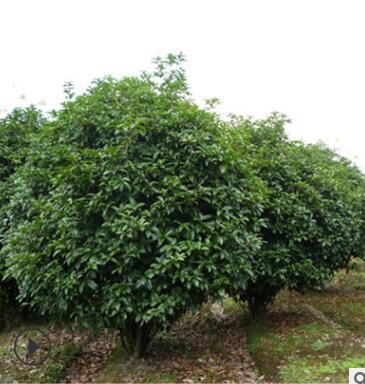 品种丹桂树 工程行道庭院绿化常绿乔木丹桂 吸滞粉尘