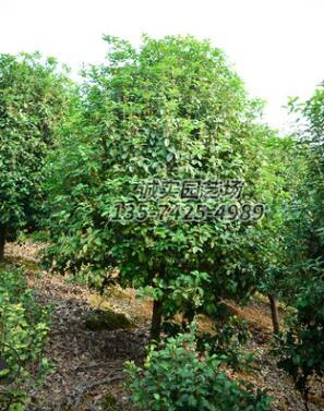 基地供应四季桂 规格齐全 量大优惠 树形优美
