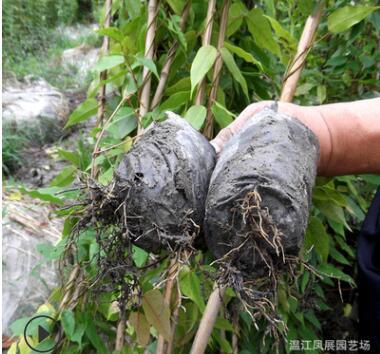 苗圃直供优惠价攀爬垂直绿化藤本常青油麻藤 牛毛藤苗