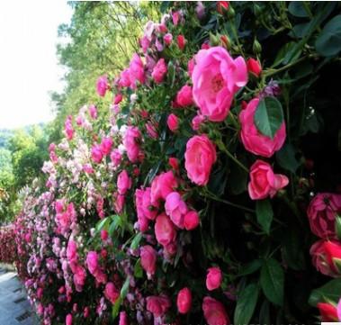 基地苗圃直销爬藤植物蔷薇花苗 无刺蔷薇苗批发 爬墙蔷薇量大优惠