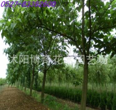 专供绿化苗木 行道树 泡桐 规格齐全 4cm泡桐树批发 生长快易成活