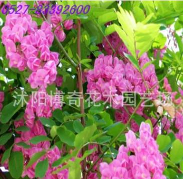 红花槐树苗 红花刺槐苗 红槐苗 庭院观花植物 可盆栽 包成活