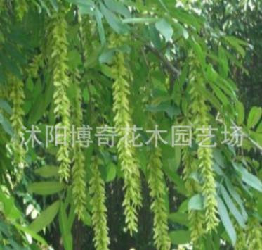 基地直销枫杨树 绿化工程苗木 造景效果好 成活率高 量大从优
