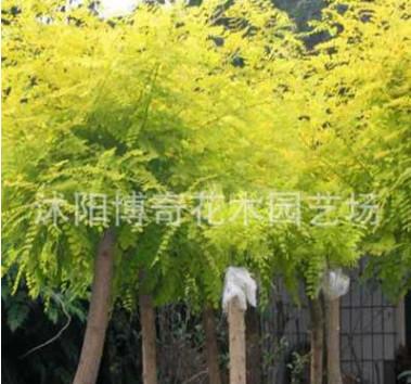 出售高嫁黄金槐 黄槐 小区 庭院 道路 绿化专用 彩色树种 美观