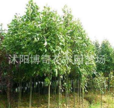 供应马褂木(鹅掌楸) 马褂木小苗 马褂木价格 附马褂木栽培技术