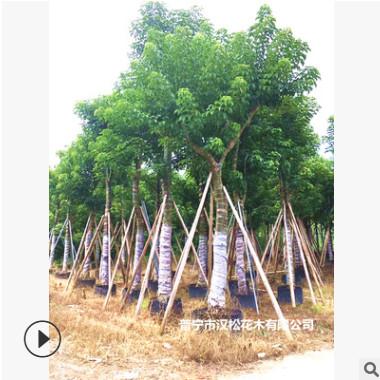 大量低价供应绿化苗木秋枫树自家苗场种植销售宠物及园艺园林