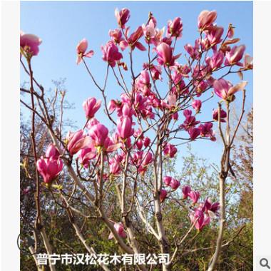 低价供应绿化苗木紫玉兰花木农户自家花场直销宠物及园艺园林