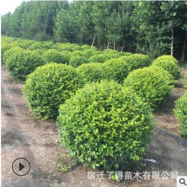 基地批发 灌木金叶女贞球大小规格毛球净球 工程用苗庭院绿化