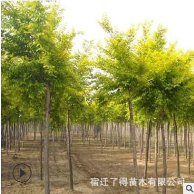 批发金叶榆小苗工程绿化金叶榆树苗 彩叶树木行道树金叶榆苗