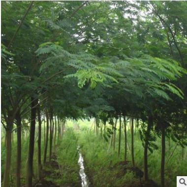 合欢树苗批发 工程绿化行道风景合欢树苗 庭院公园观赏绒花合欢树