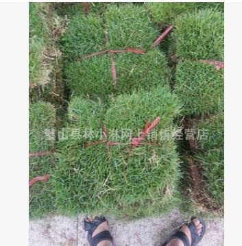 混播草坪四季青 混播草坪 高羊茅 黑麦草