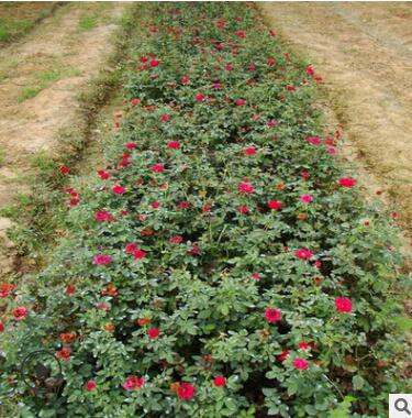 大花月季带花苞批发 藤本月季 庭院四季花卉欧月花苗圃直销