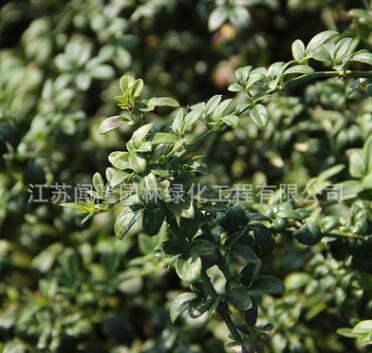 迎春花苗批发园林工程绿化苗木垂吊灌木迎春小苗围墙种植庭院花卉
