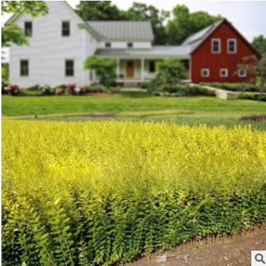 庭院美化色块工程花镜绿化苗木金叶女贞苗工程苗绿篱彩色花园植物