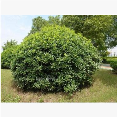 海桐小苗园林绿篱笆植物围墙四季常青气味芳香植物海桐球