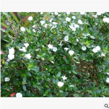 六月雪 土球好 冠幅好 花灌木 地被 球类 色块类 草花类 绿化苗木