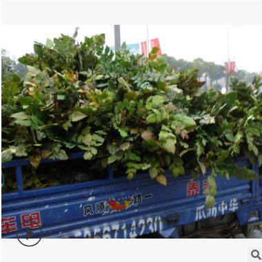 大叶十大功劳 品种 规格 齐全 园林 绿化 道路 工程用苗 萧山苗圃