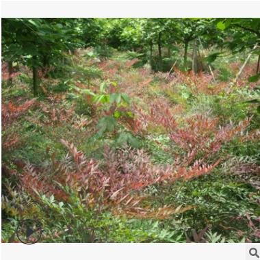 南天竹 园林 绿化 工程 苗木 其他 品种 规格 齐全 萧山 苗圃直销