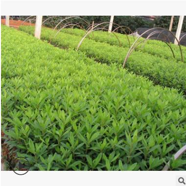 春鹃 土球好 冠幅 好 品种 规格 齐全 园林 绿化 工程 庭院 用苗