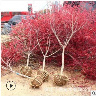 批发红枫树苗规格齐全工程苗庭院绿化美观红枫三季红红舞姬日本
