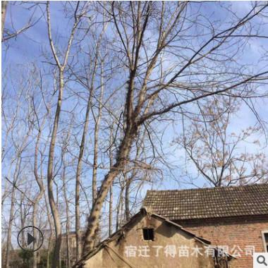 园林绿化苗木皂角树 低价特惠直销皂角树 山东皂角树批发