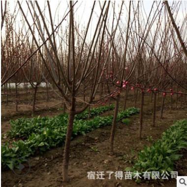 美人梅批发 工程绿化梅花树苗 观花观叶植于庭院路旁红梅苗直销