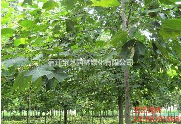 江苏常年供应规格马褂树