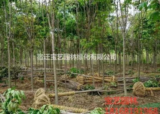 江苏常年供应规格七叶树 七叶树价格