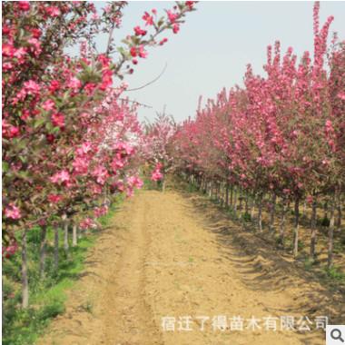 种植基地畅销北美海棠小树苗绚丽海棠冬红果海棠价格 观赏树