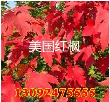 基地批发绿化工程苗 美国红枫苗美国红枫-秋火焰红枫苗