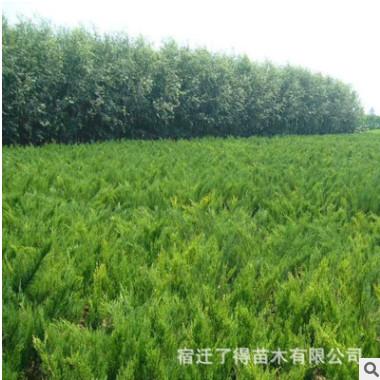 批发灌木 沙地柏 沙地柏树苗 铺地柏 绿化苗/工程用苗 价格低质优