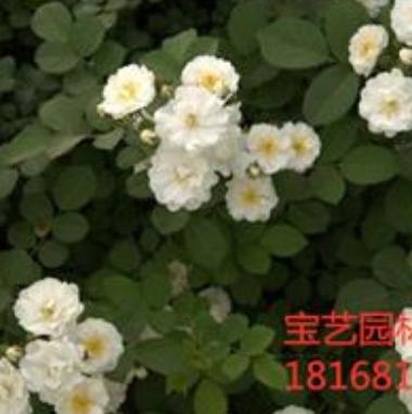 江苏常年供应蔷薇 品种齐全
