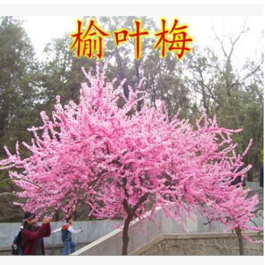 梅花树苗 榆叶梅树苗盆景苗庭院耐寒植物 观赏树苗绿化苗木行道树