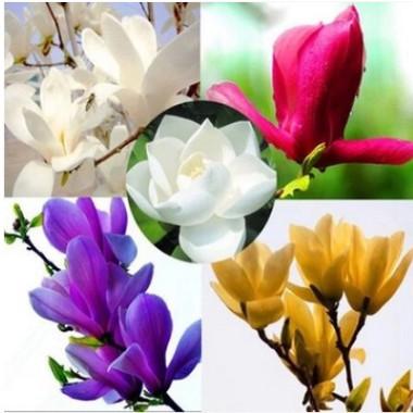 紫玉兰树苗 白玉兰苗 黄玉兰 玉兰花苗 红玉兰小苗 庭院绿化苗木